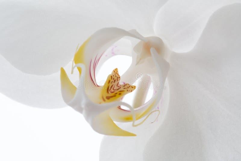 Fleur blanche d'orchid?e sur le fond blanc image libre de droits
