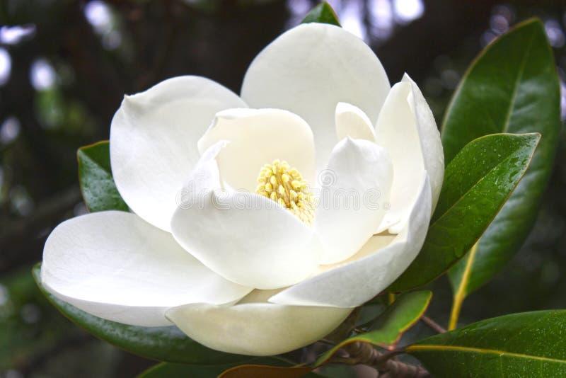 Fleur blanche d'une magnolia photographie stock libre de droits