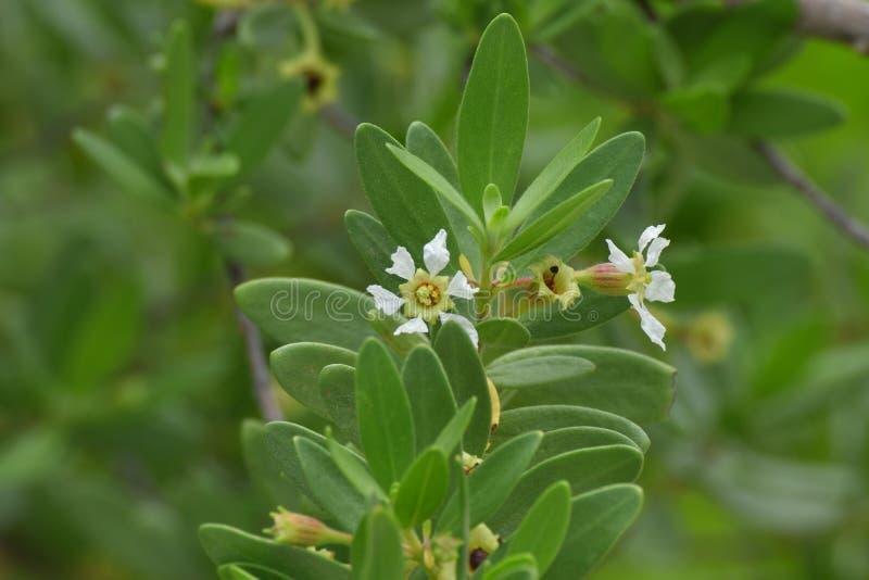 Fleur blanche d'usine d'ironwood photographie stock libre de droits