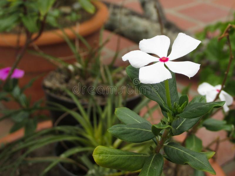 Fleur blanche dans le petit jardin photographie stock libre de droits