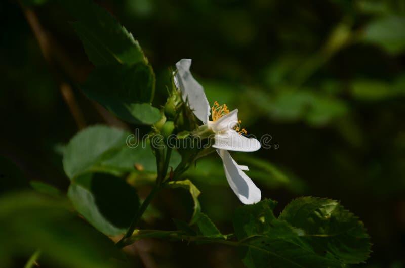 Fleur blanche de bois de fer fleurissant sur l'arbre photographie stock libre de droits