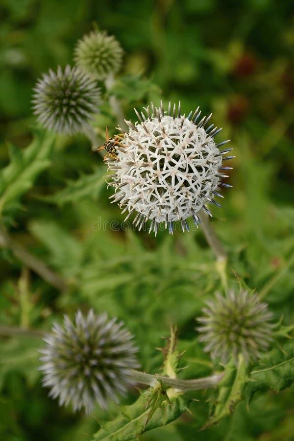 Fleur blanche de boule en nature image libre de droits