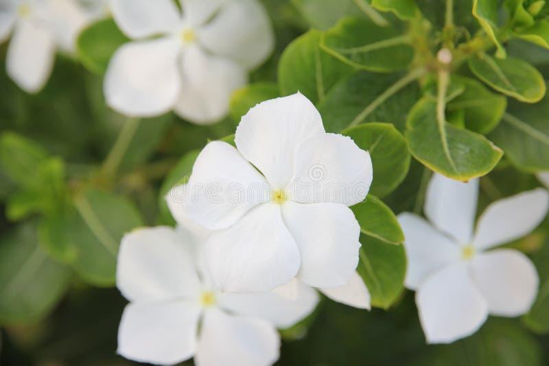 Fleur blanche de buisson de canneberge photographie stock