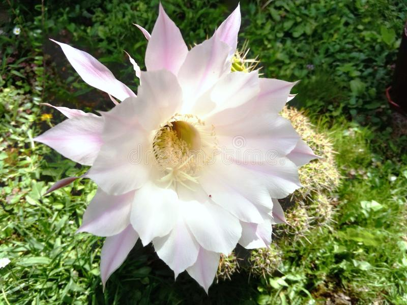 Fleur blanche de cactus d'Echinopsis Silvestrii photographie stock libre de droits