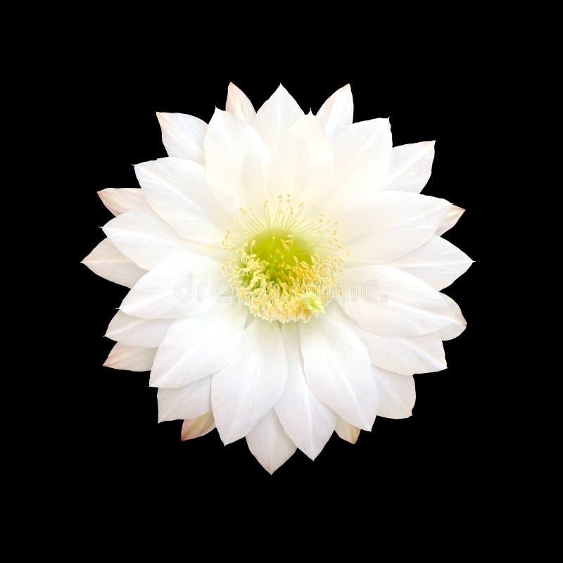 Fleur blanche de cactus d'isolement sur le fond noir photo libre de droits