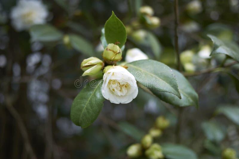 Fleur blanche de camélia photographie stock libre de droits