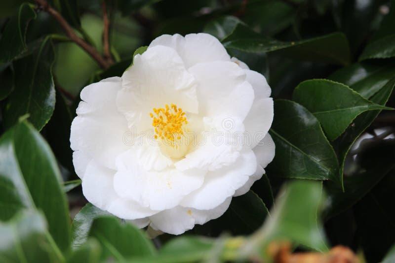 Fleur blanche de camélia photos stock