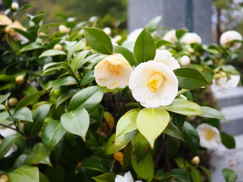 Fleur blanche de camélia dans le jardin photo stock