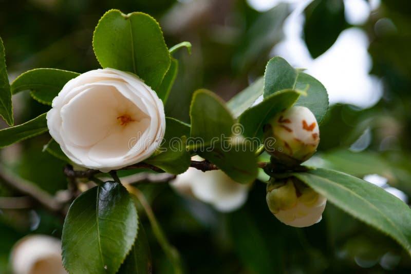 Fleur blanche de cam?lia image libre de droits