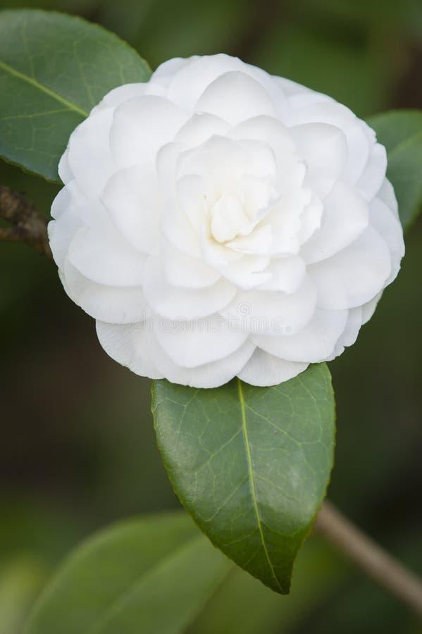 fleur blanche de camelia en pleine floraison photo stock image du fleur frais 53226166. Black Bedroom Furniture Sets. Home Design Ideas