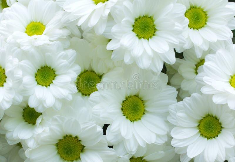 Fleur blanche de chrysanthème images stock