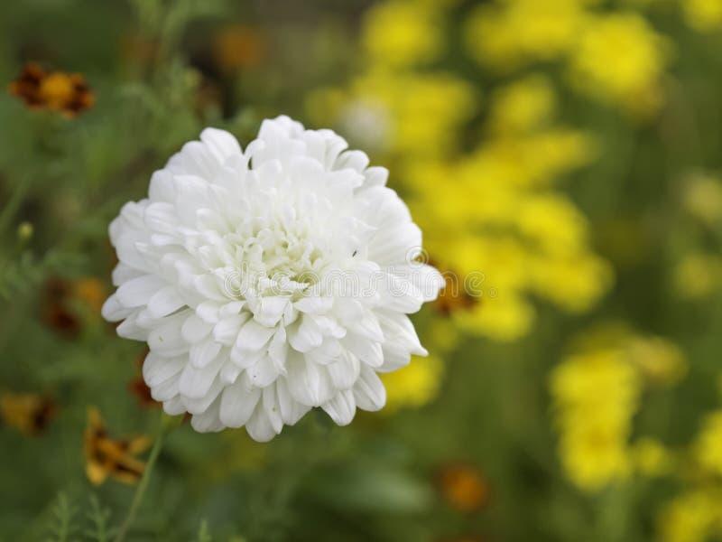 Fleur blanche de chrysanth?me fleurissant dans le jardin image libre de droits