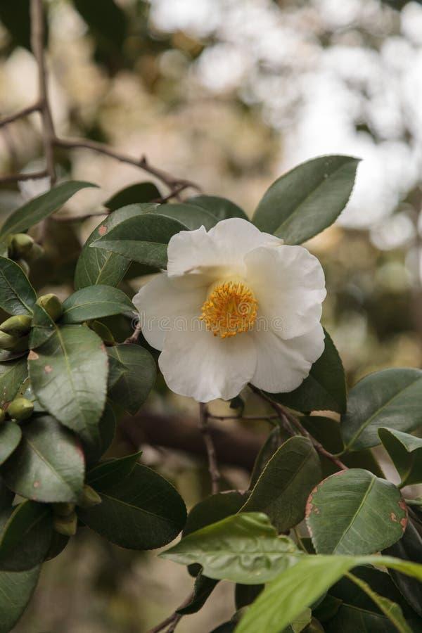 Fleur blanche de cognassier du Japon de camélia images libres de droits