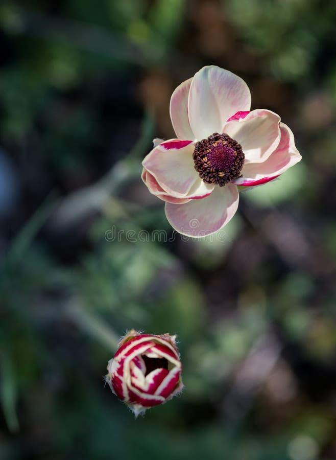 Fleur blanche de Coronaria d'anémone image stock