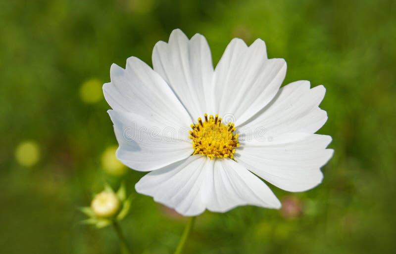 Fleur blanche de cosmos photos stock