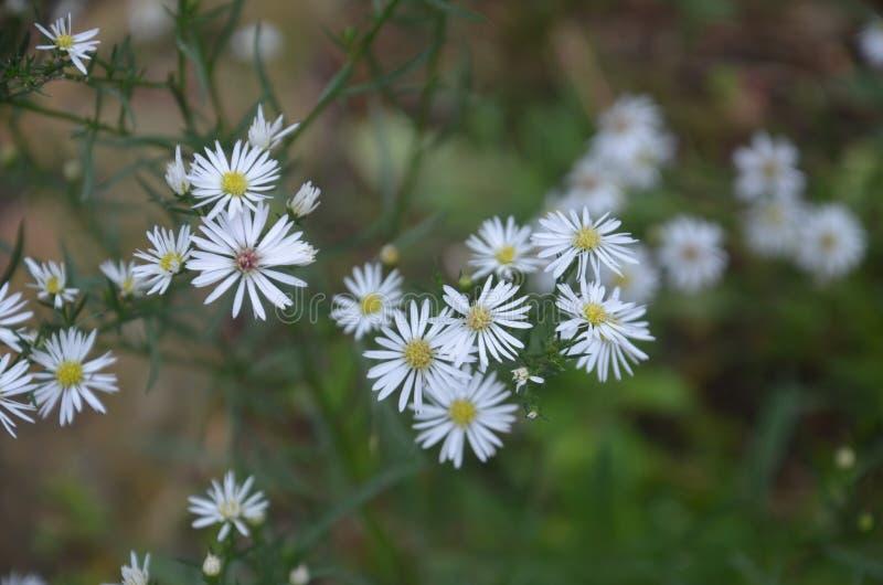 Fleur blanche de couleur photographie stock libre de droits
