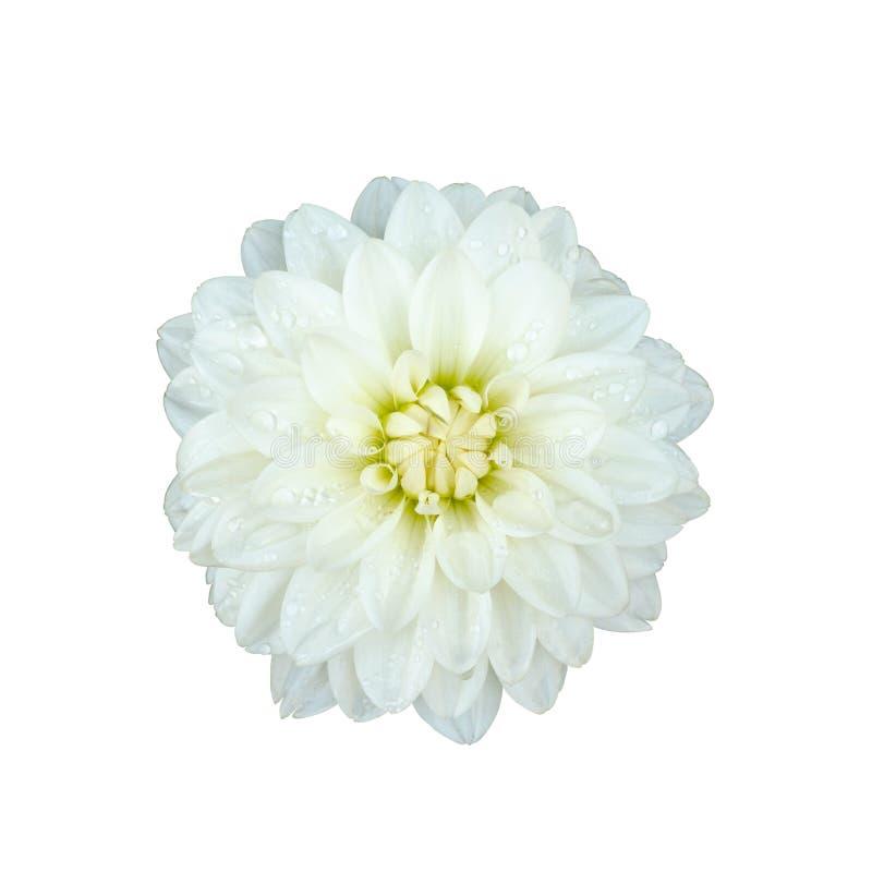 Fleur blanche de dahlia d'isolement images libres de droits