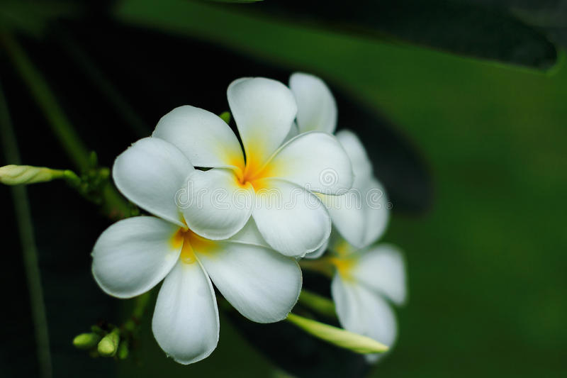 Fleur blanche de fleur d'Almeria photos libres de droits