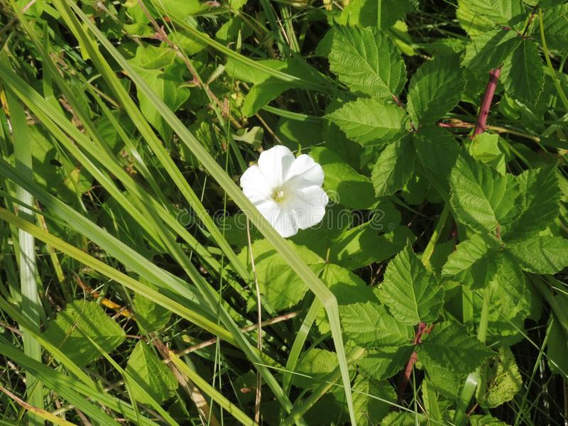 fleur blanche de 12 67 6000 01 Frances d'Alsace petites images stock