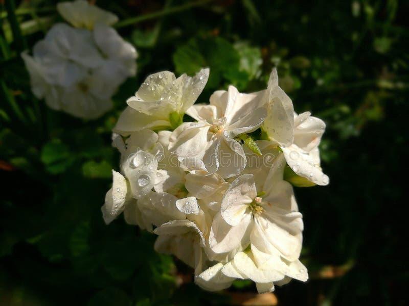 Fleur blanche de géranium images libres de droits