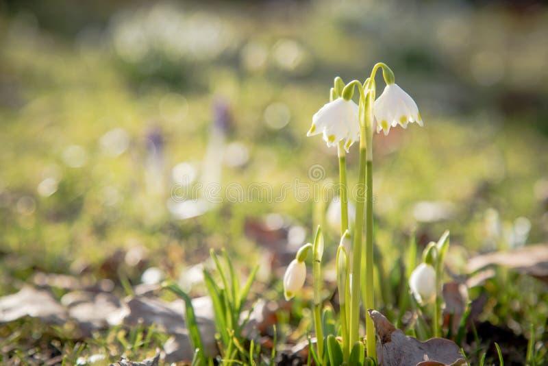 Fleur blanche de Galanthus Nivalis de perce-neige en soleil de jardin de ressort d'hiver image libre de droits
