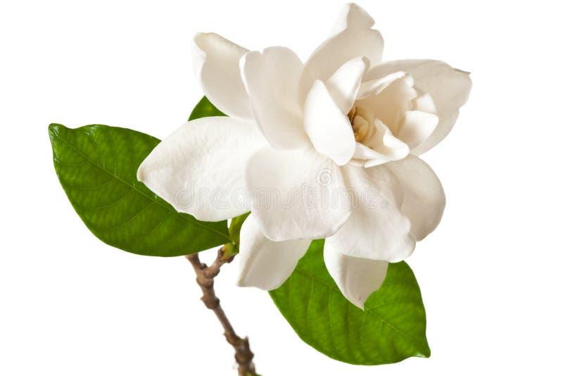 Fleur blanche de Gardenia d'isolement sur le blanc image libre de droits
