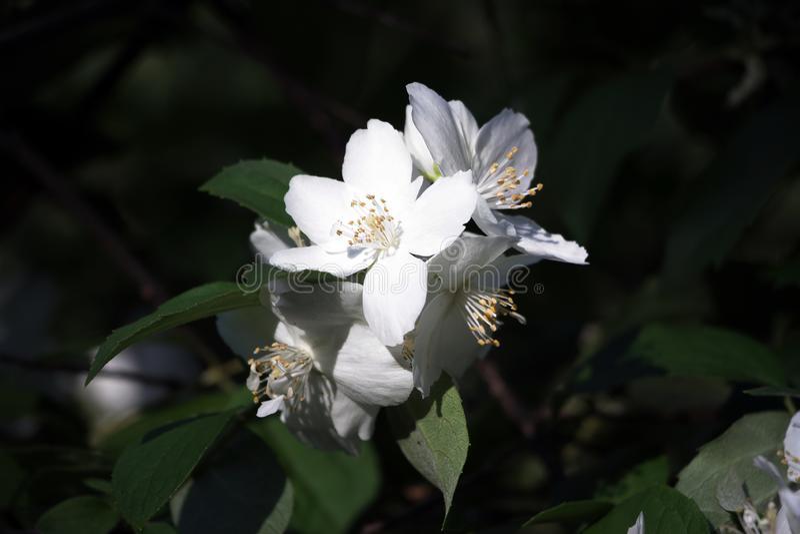 Fleur blanche de jasmin au soleil photographie stock