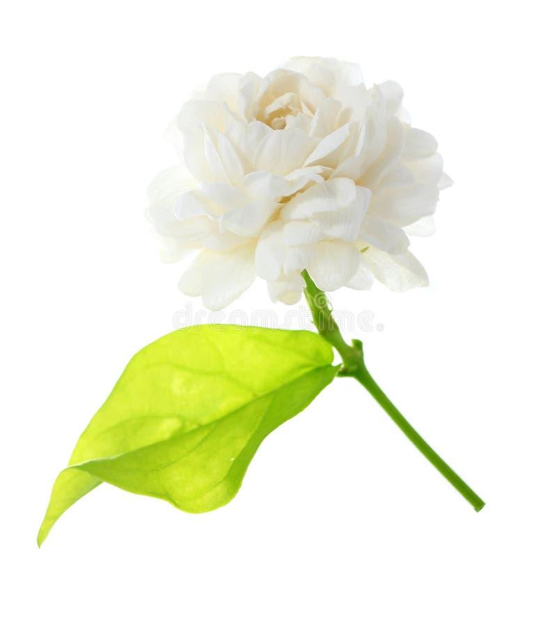 Fleur blanche de jasmin d'isolement sur le fond blanc photos stock