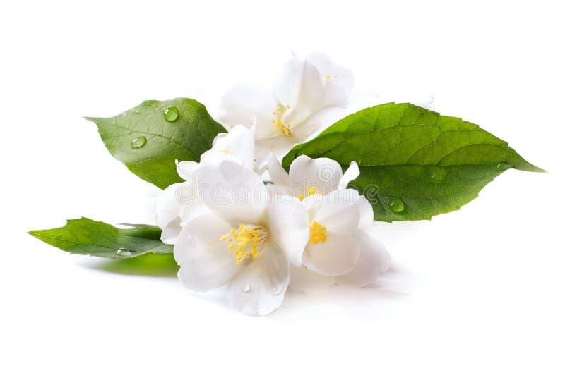 Fleur blanche de jasmin sur le fond blanc images stock