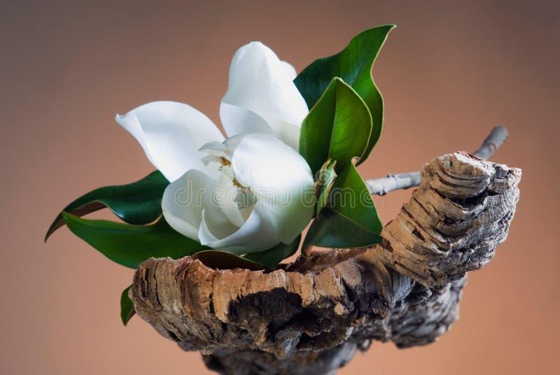 Fleur blanche de magnolia photos stock