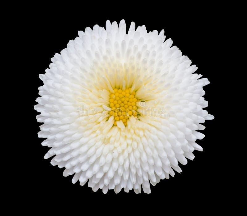 Fleur blanche de marguerite de marguerite des prés d'isolement sur le fond noir image stock