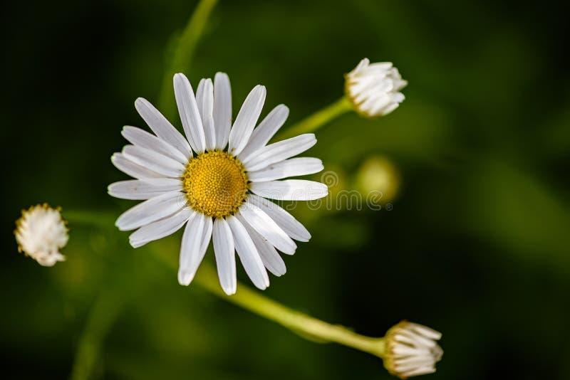 Fleur blanche de marguerite images libres de droits