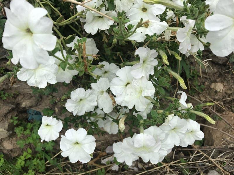 Fleur blanche de pétunia de couleur image stock