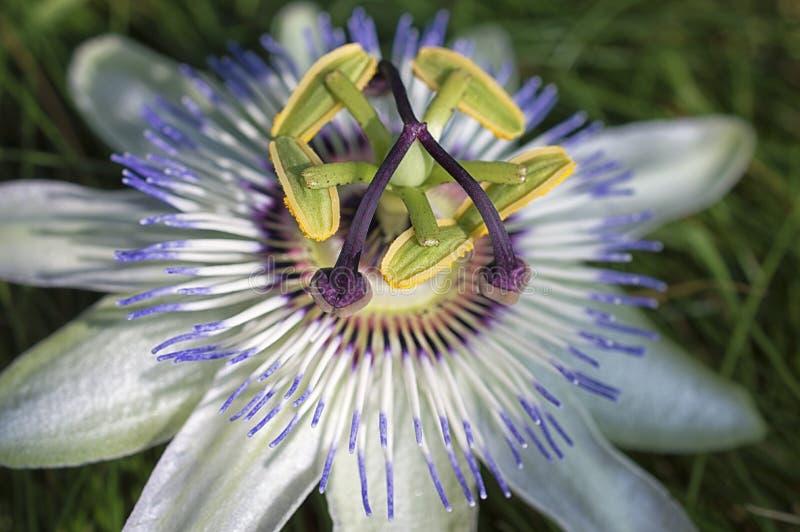 Fleur blanche de passiflore - passiflore images stock