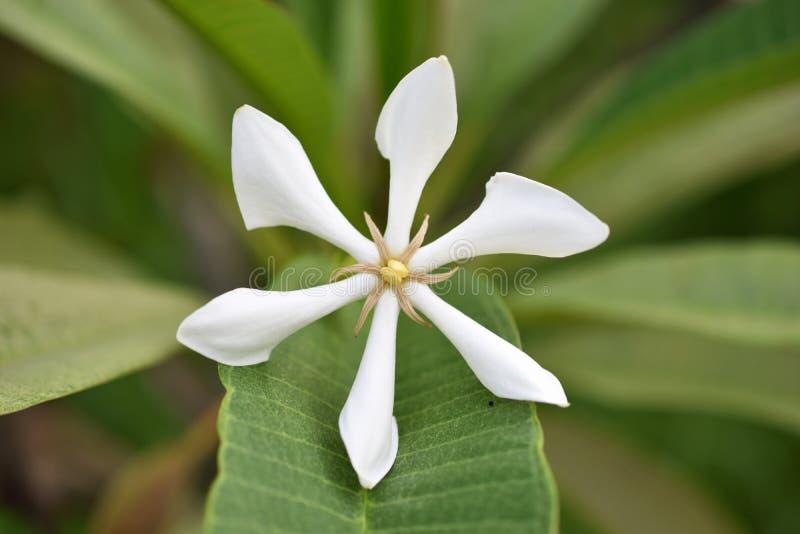 Fleur blanche de plan rapproché images stock