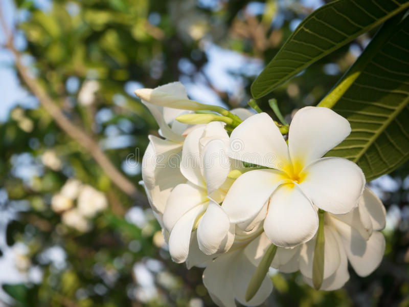 Fleur blanche de Plumerai photos libres de droits