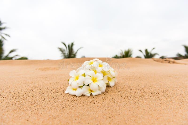 Fleur blanche de Plumeria (frangipani) sur le sable ensoleillé de plage photo stock