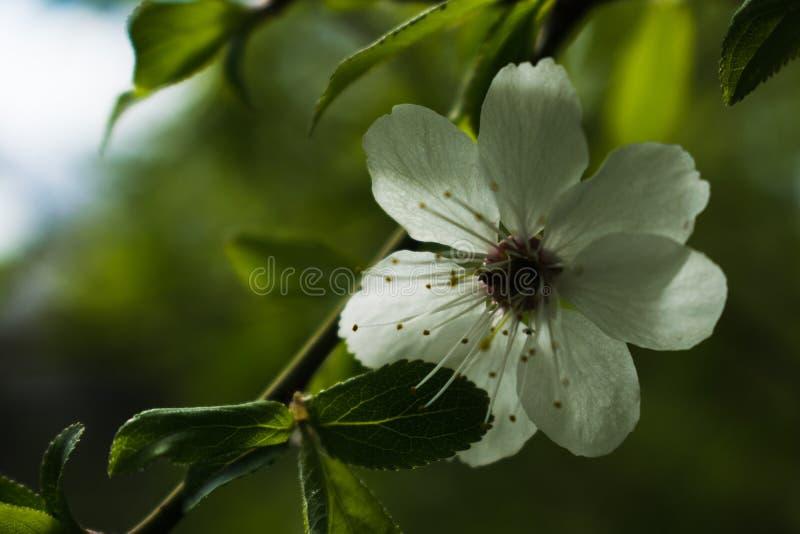 Fleur blanche de poirier image stock