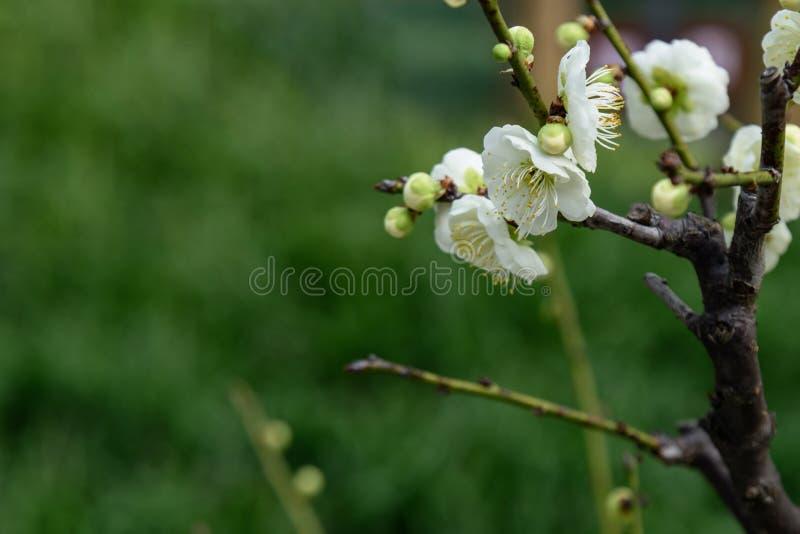 Fleur blanche de prune image libre de droits