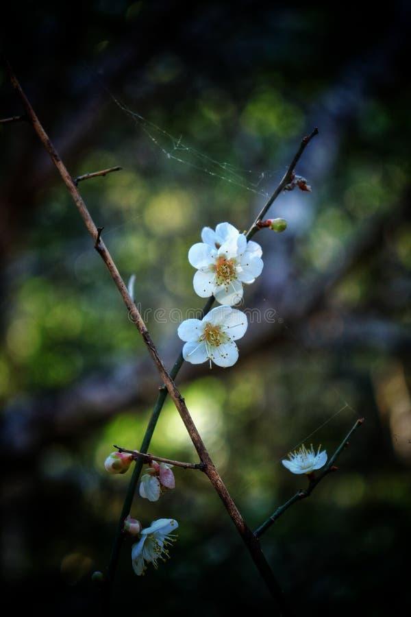 Fleur blanche de prune sur la haute montagne photographie stock libre de droits