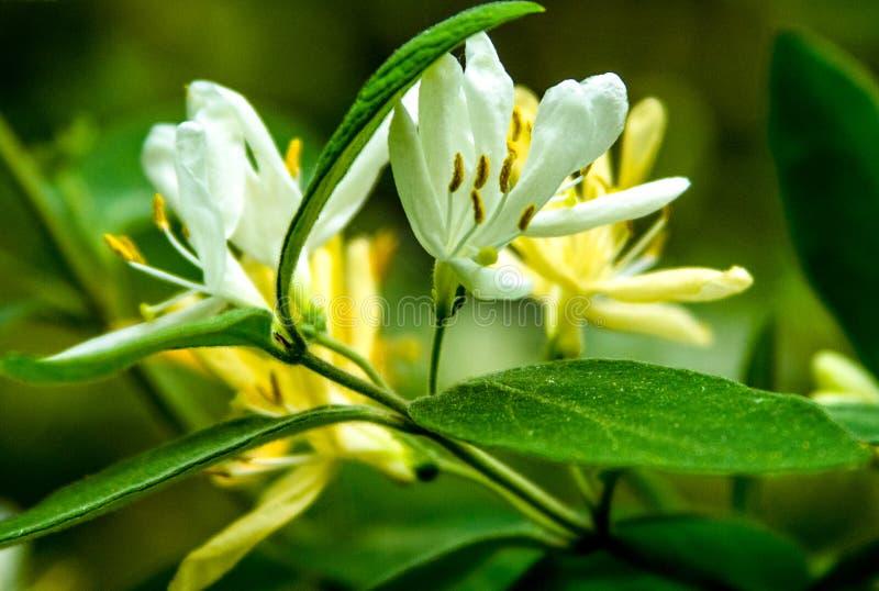 Fleur blanche de ressort prise au parc d'état de crique de collines image libre de droits
