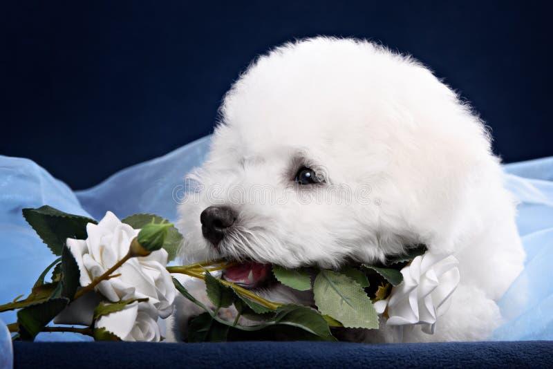 Fleur blanche de rongement de chiot de Terrier photo stock