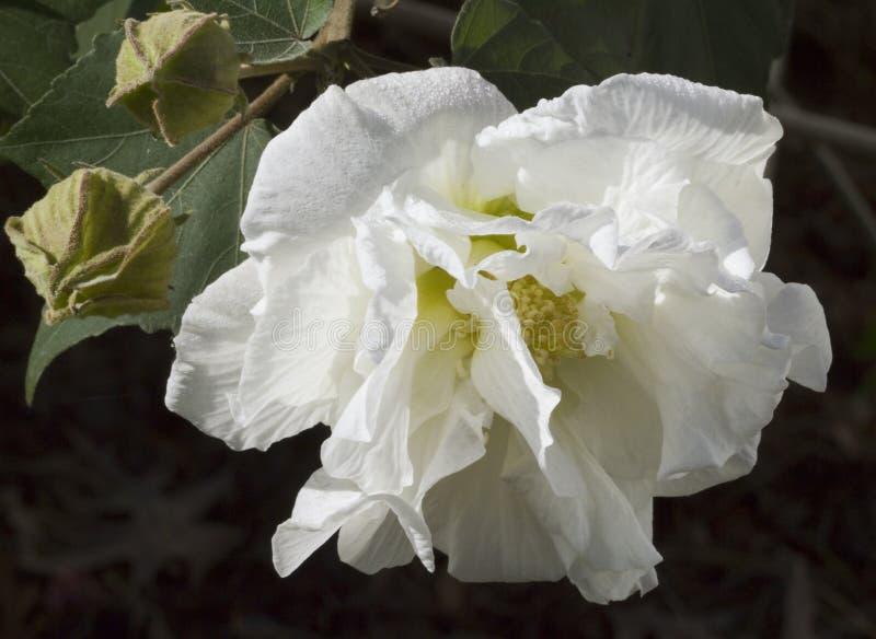 Fleur blanche de Rose conf?d?r?e - mutablis de ketmie images stock