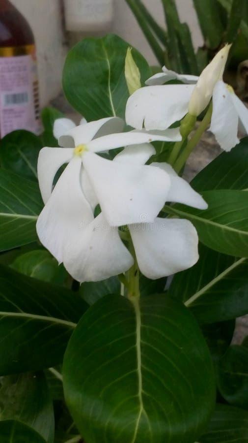 Fleur blanche de roseus de Catharanthus photographie stock