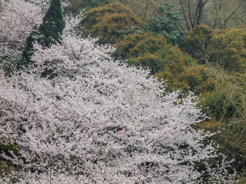 Fleur blanche de Sakura à l'université de Wuhan image libre de droits