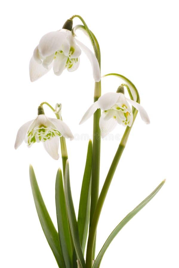 Fleur blanche de source de Snowdrop- (nivalis de Galanthus) photographie stock