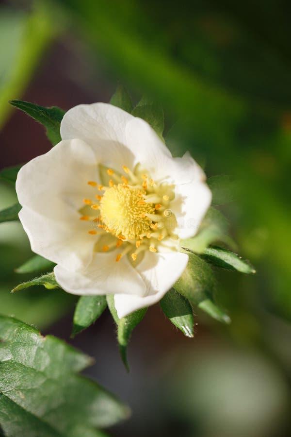 Fleur blanche de Victoria avec un coeur jaune photographie stock libre de droits