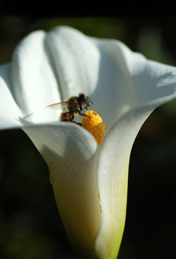 Fleur blanche de zantedeschia avec l'abeille rassemblant le nectar sur le backg noir images libres de droits