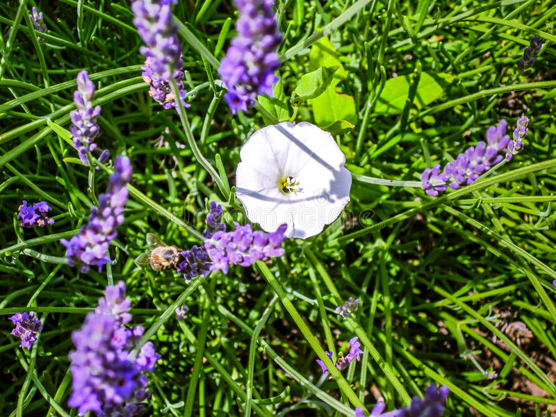 Download Fleur Blanche Entre La Lavande Image stock , Image du soirée,  crépuscule 96009513