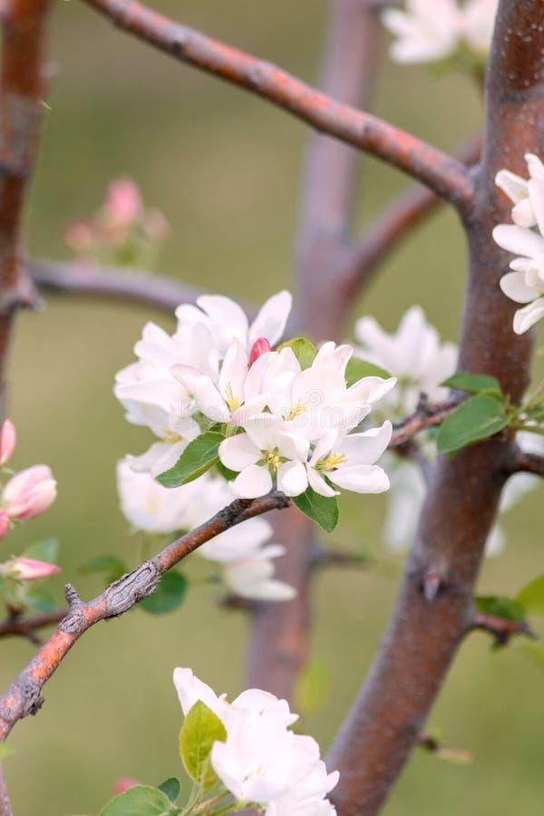 Fleur blanche et bourgeon rose sur la branche de la fleur d'Apple au printemps, été le concept du jardin images libres de droits